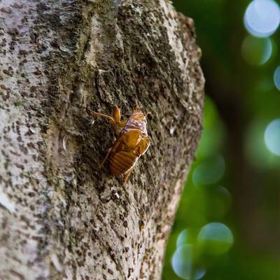 「蝉のぬけ殻」の写真素材