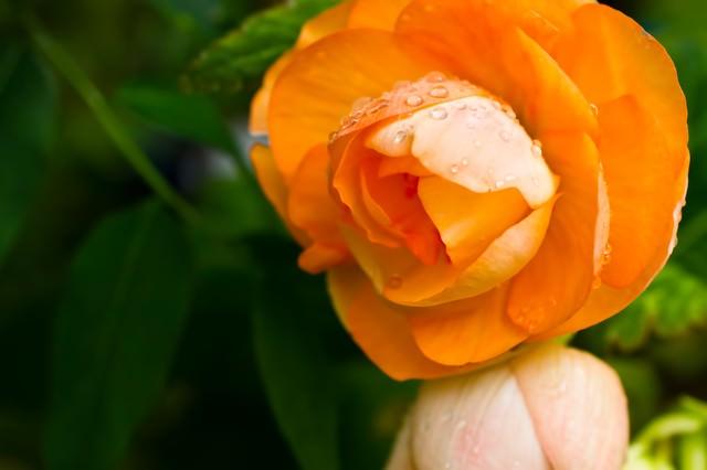 水滴とオレンジの花の写真
