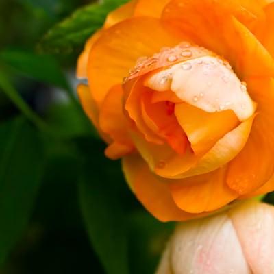 「水滴とオレンジの花」の写真素材