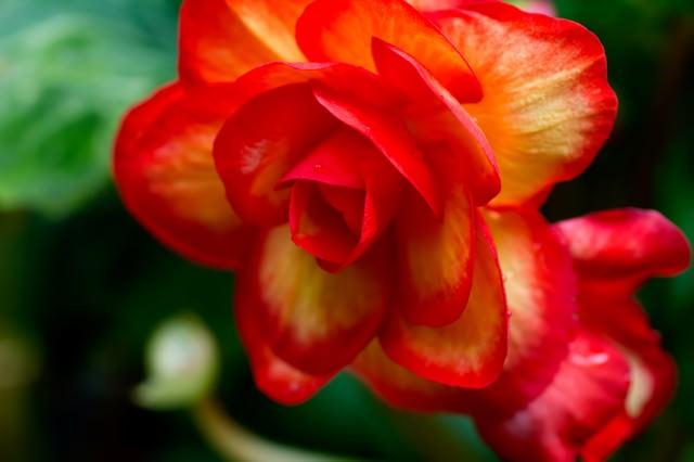 水滴がついた赤い薔薇の写真