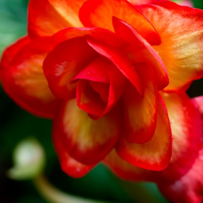 「水滴がついた赤い薔薇」の写真素材