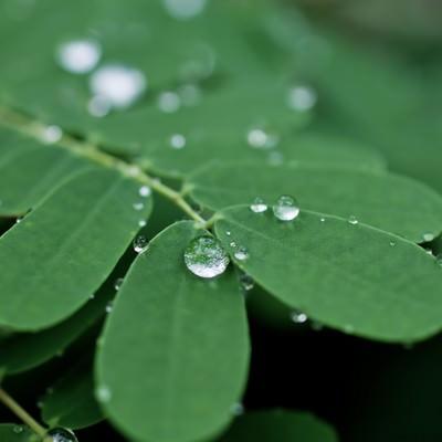 水滴をはじく葉の写真