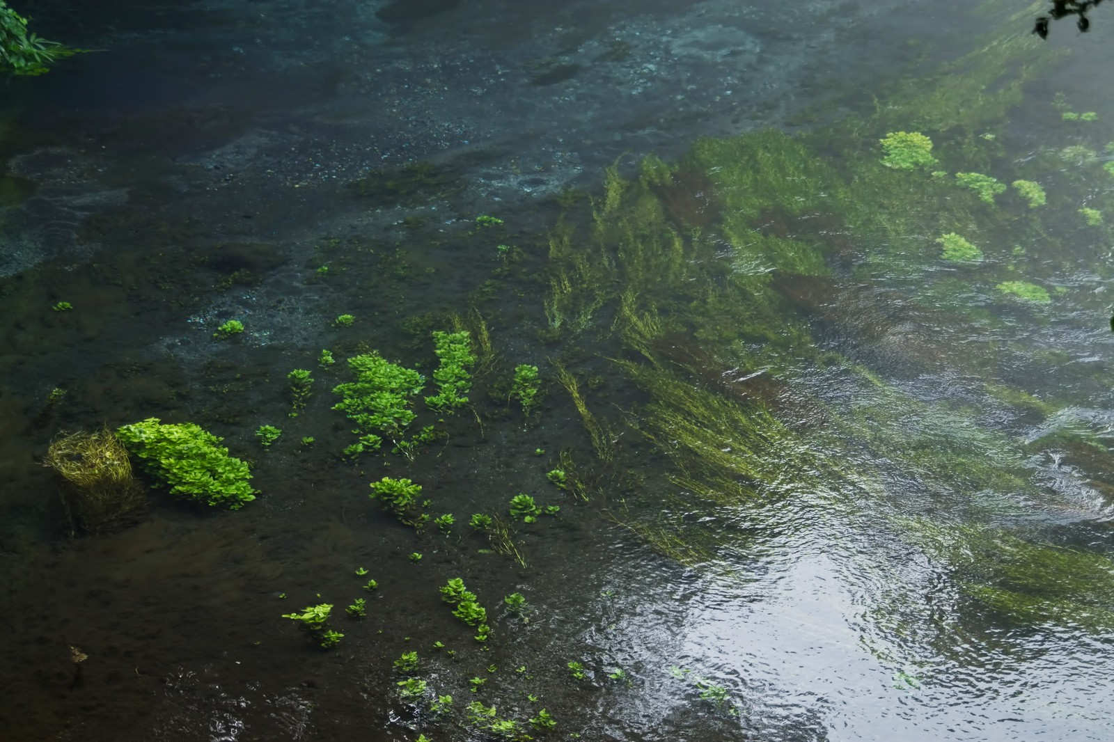 「透き通る柿田川」の写真