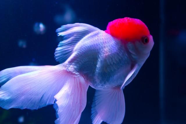 ぷっくりした丹頂(金魚)の写真