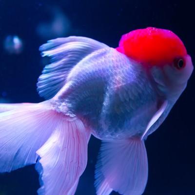 「ぷっくりした丹頂(金魚)」の写真素材