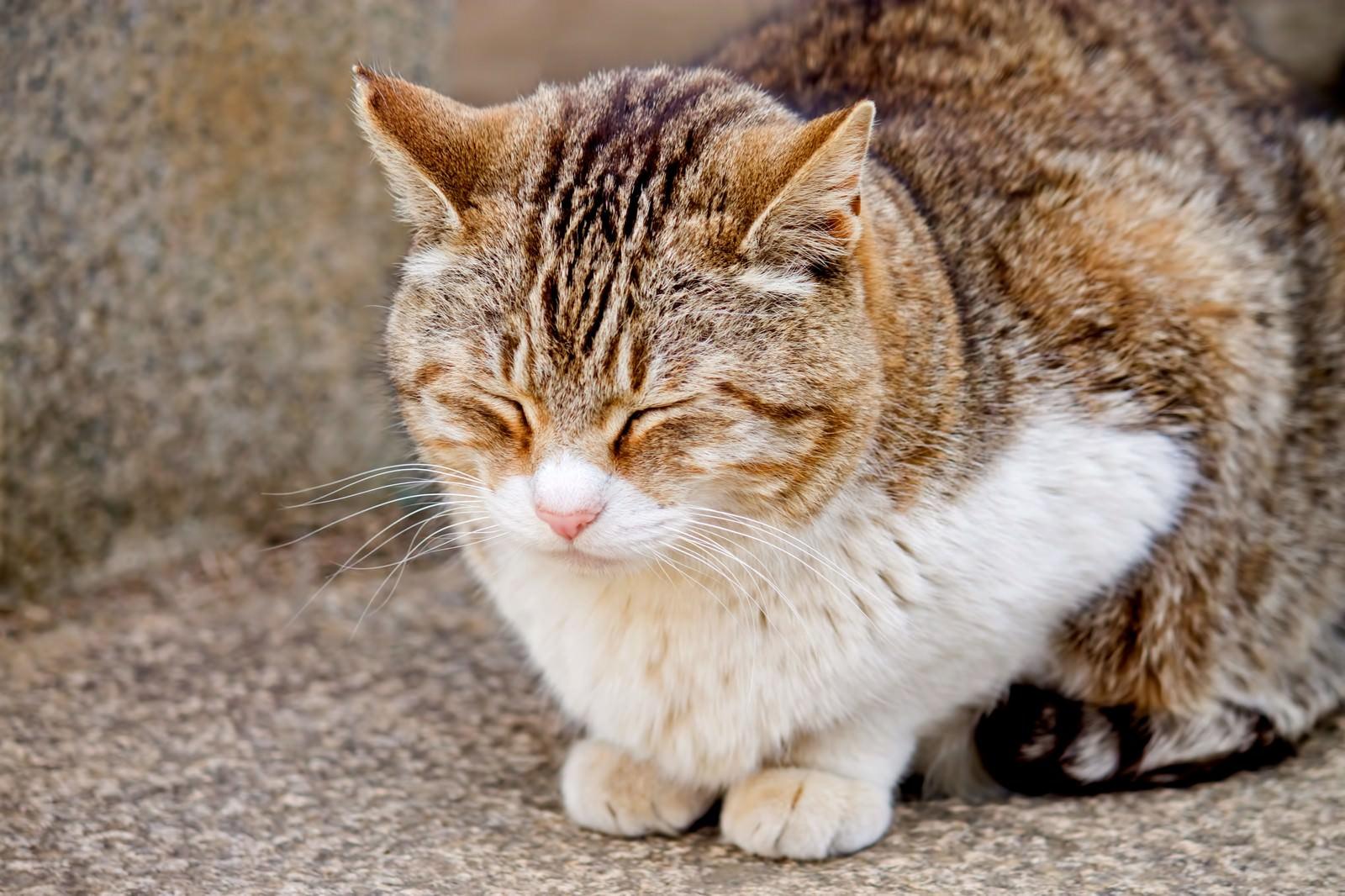 「うたたねをする猫うたたねをする猫」のフリー写真素材を拡大