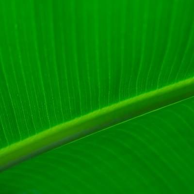 「観葉植物の葉脈」の写真素材
