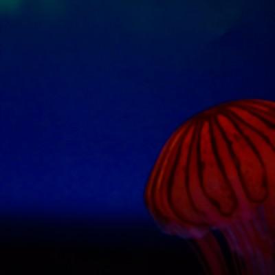 「アカクラゲ」の写真素材