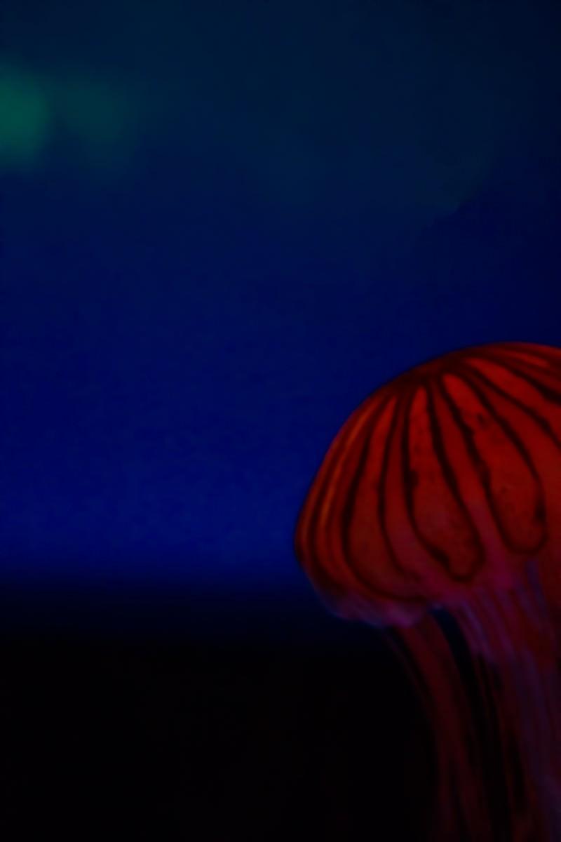 「アカクラゲ」の写真