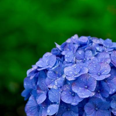 「雨に濡れた紫陽花」の写真素材