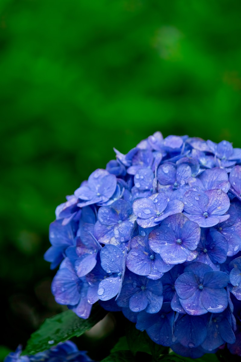 「雨に濡れた紫陽花」の写真