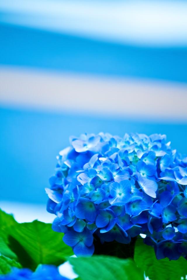 青い紫陽花の花の写真