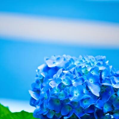 「青い紫陽花の花」の写真素材