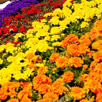 「色鮮やかな花壇」の写真素材
