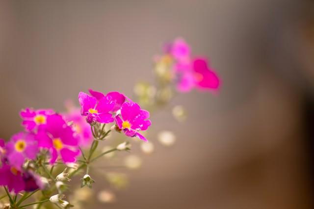 ピンク色の小さな花の写真