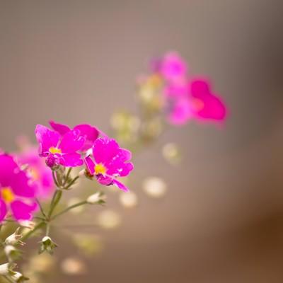 「ピンク色の小さな花」の写真素材