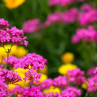 「ピンクの小さな花」の写真素材