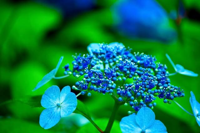 青いガクアジサイの写真