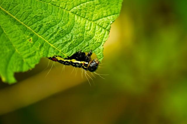 [虫注意]葉を食べる毛虫の写真