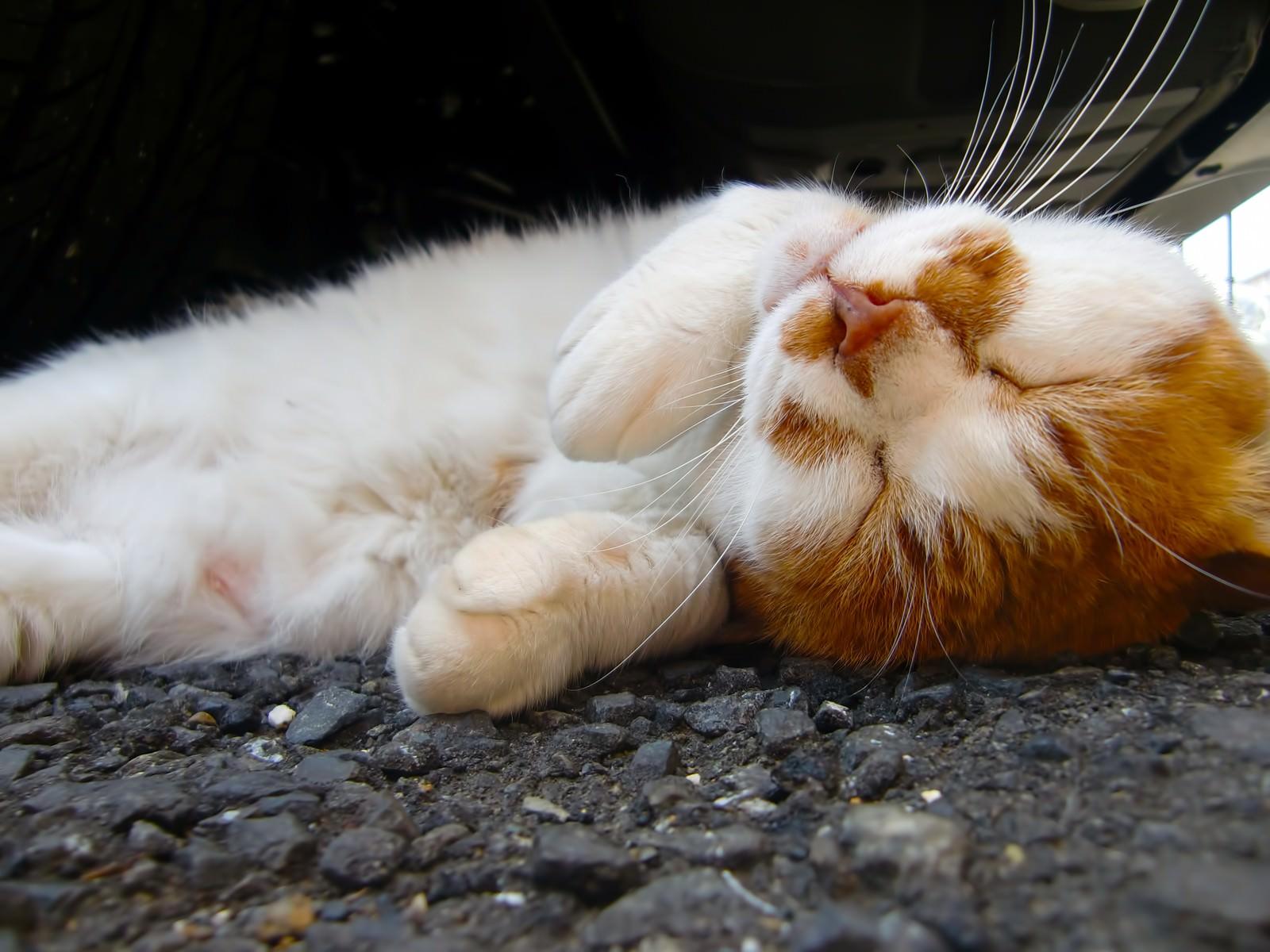 「寝返りする猫」の写真