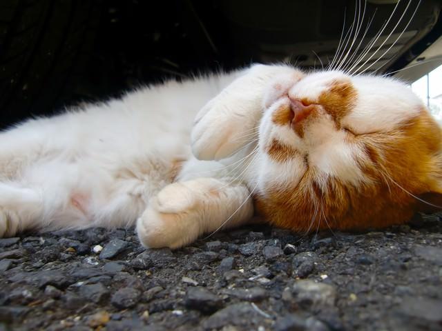 寝返りする猫の写真