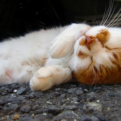 「寝返りする猫」の写真素材