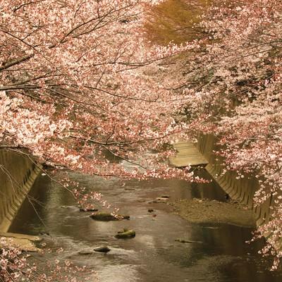 「板橋十景 石神井川の桜」の写真素材