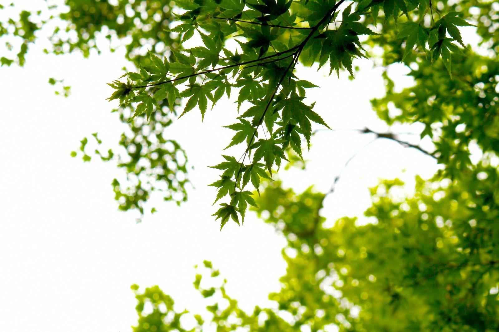 「楓と木漏れ日」の写真