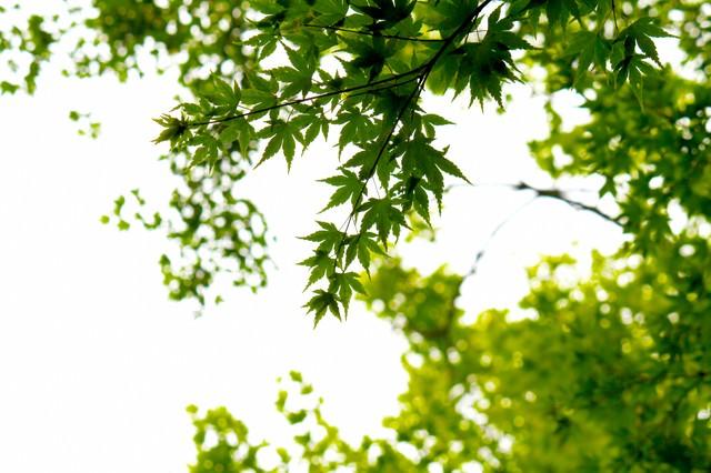 楓と木漏れ日の写真