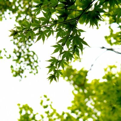 「楓と木漏れ日」の写真素材