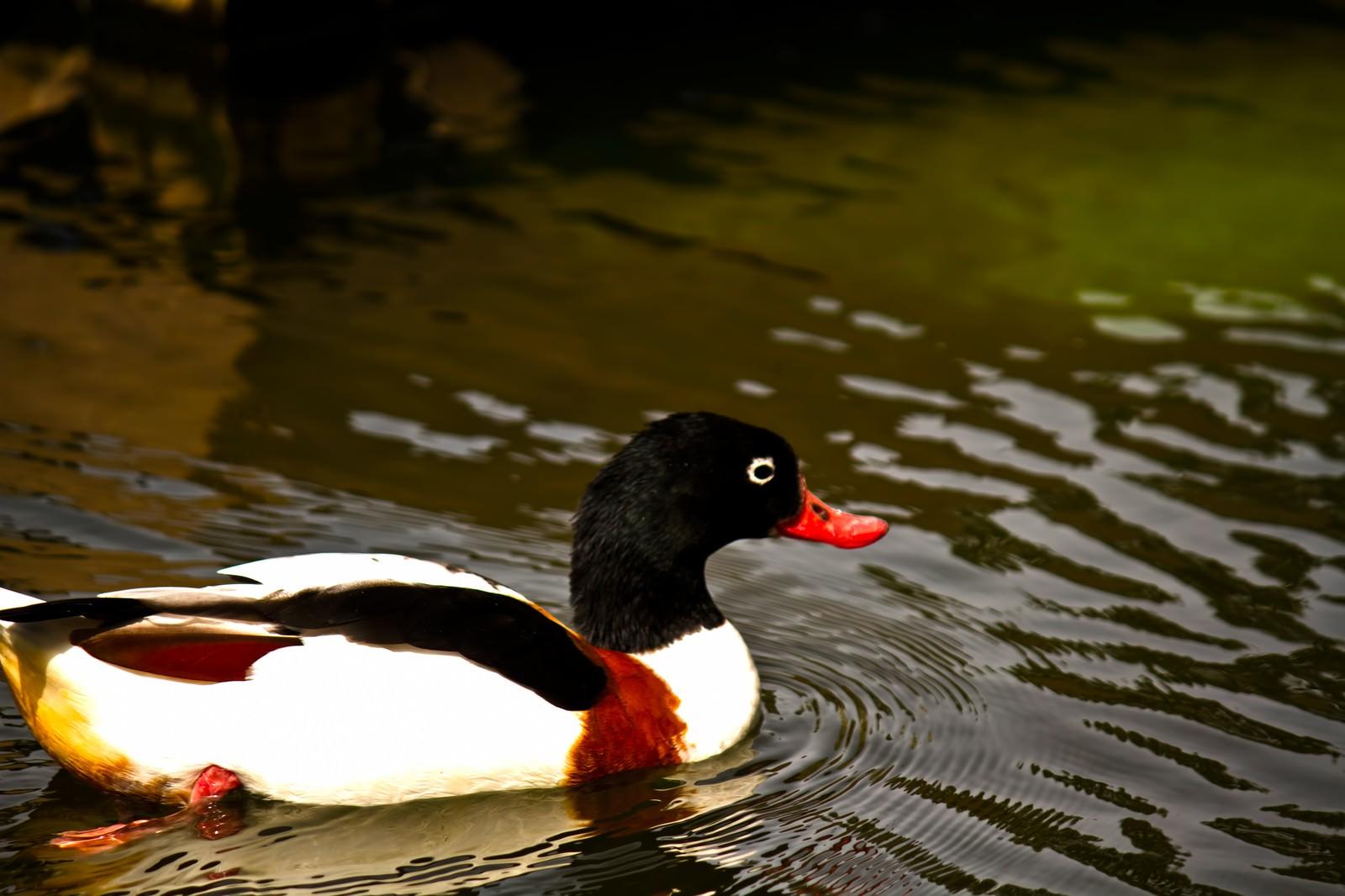 「池を泳ぐカモ」の写真