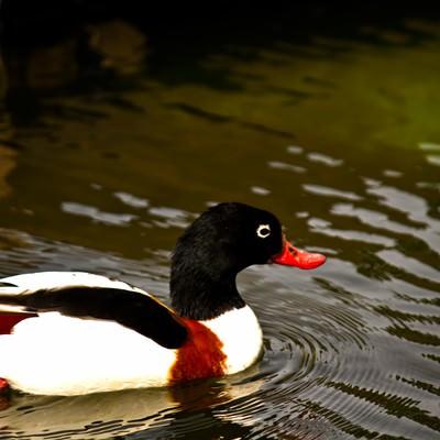 池を泳ぐカモの写真