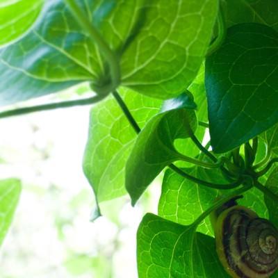 「葉っぱの裏側」の写真素材