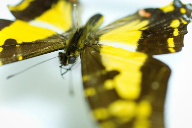 黄色い蝶の標本(マクロ)の写真