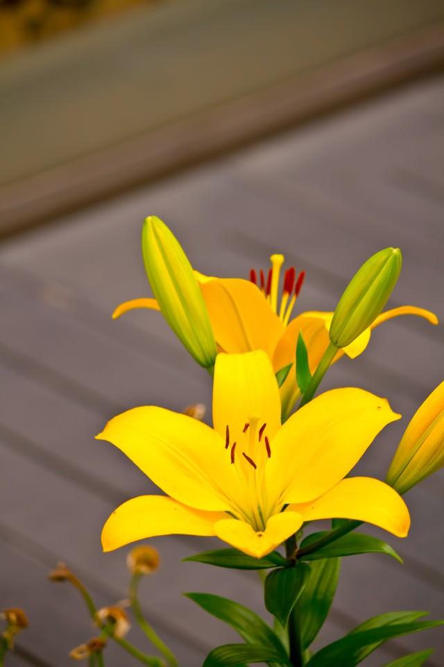 黄色い百合の花の写真