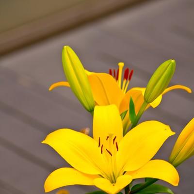 「黄色い百合の花」の写真素材