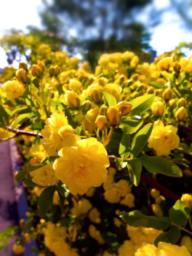 黄色いミモザの写真