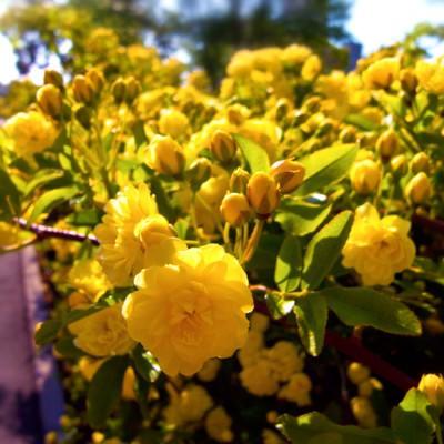 「黄色いミモザ」の写真素材