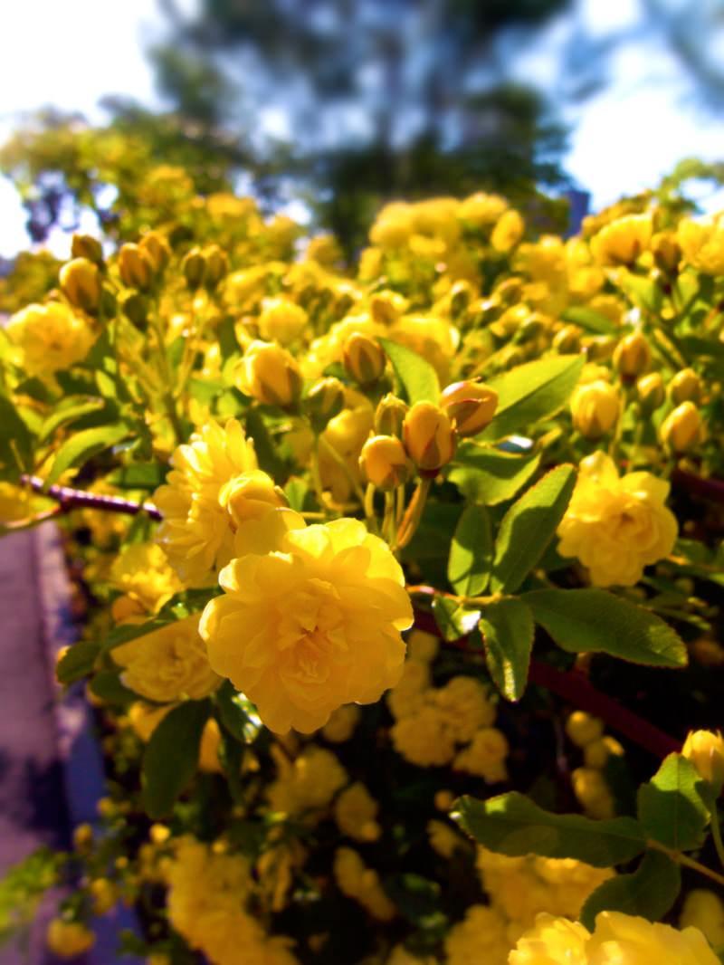 「黄色いミモザ」の写真