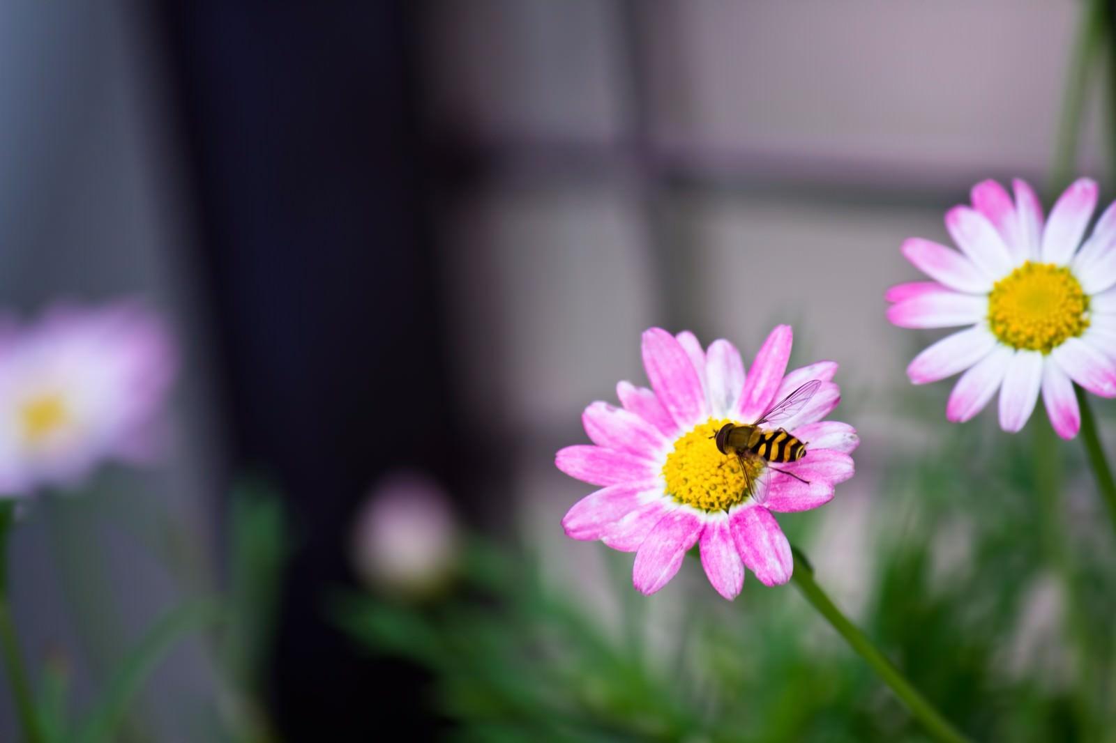 「花の蜜を吸う虻花の蜜を吸う虻」のフリー写真素材を拡大