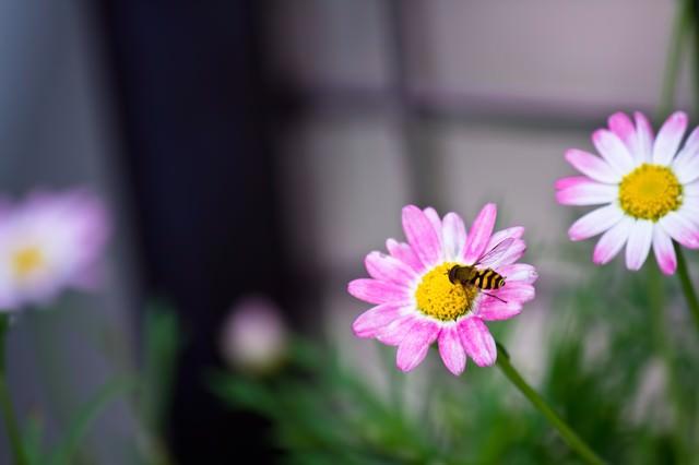 花の蜜を吸う虻の写真