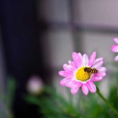 「花の蜜を吸う虻」の写真素材