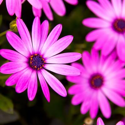 「紫色の花」の写真素材
