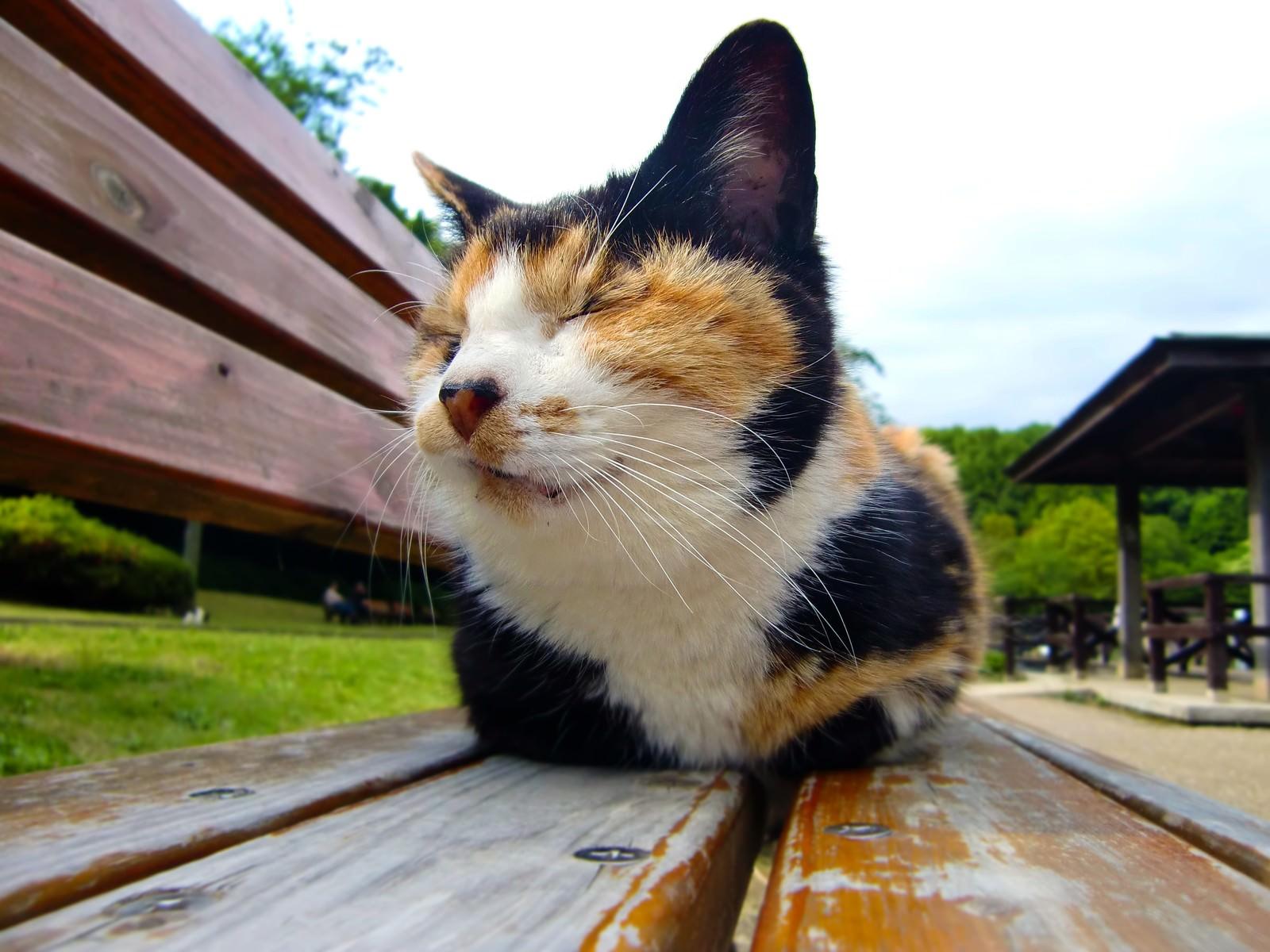 「ベンチに座る猫(ブチ)」の写真
