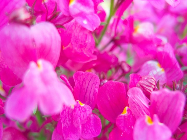 ピンクのお花の写真