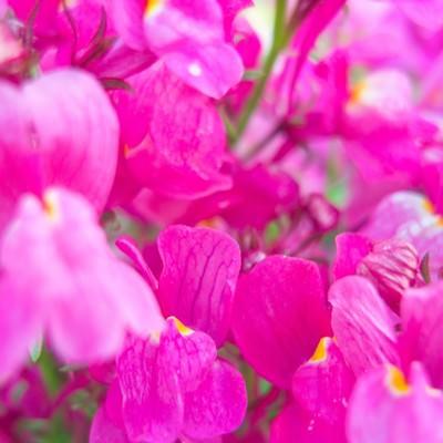 「ピンクのお花」の写真素材