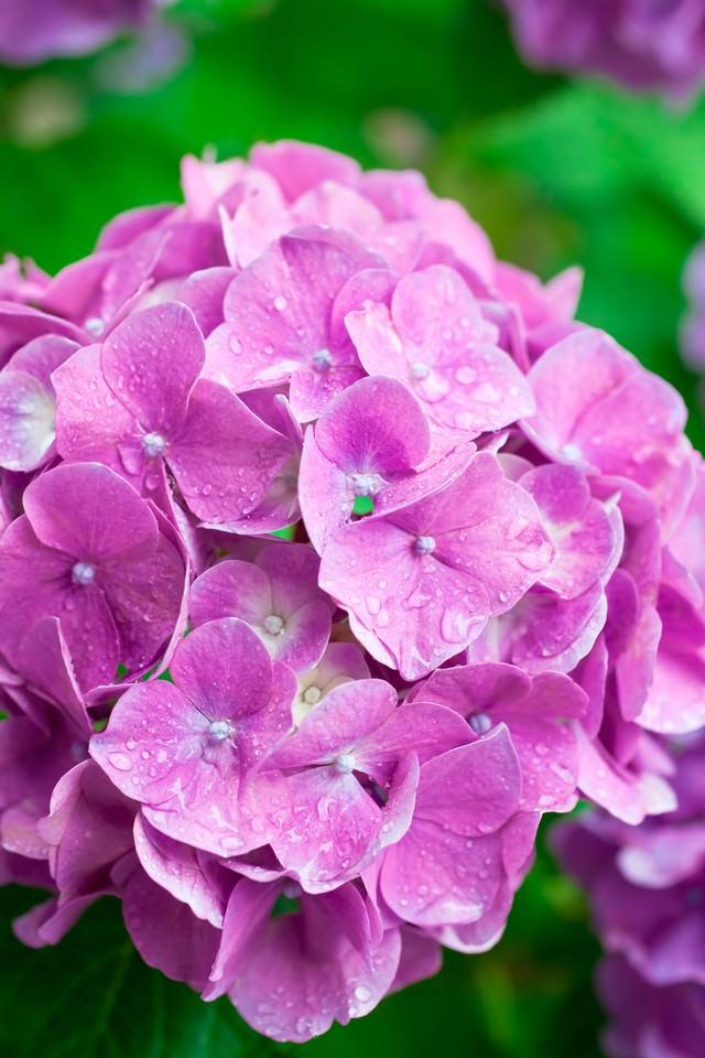 濡れたピンクの紫陽花の写真