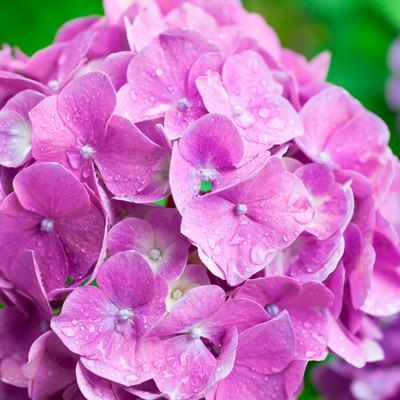 「濡れたピンクの紫陽花」の写真素材
