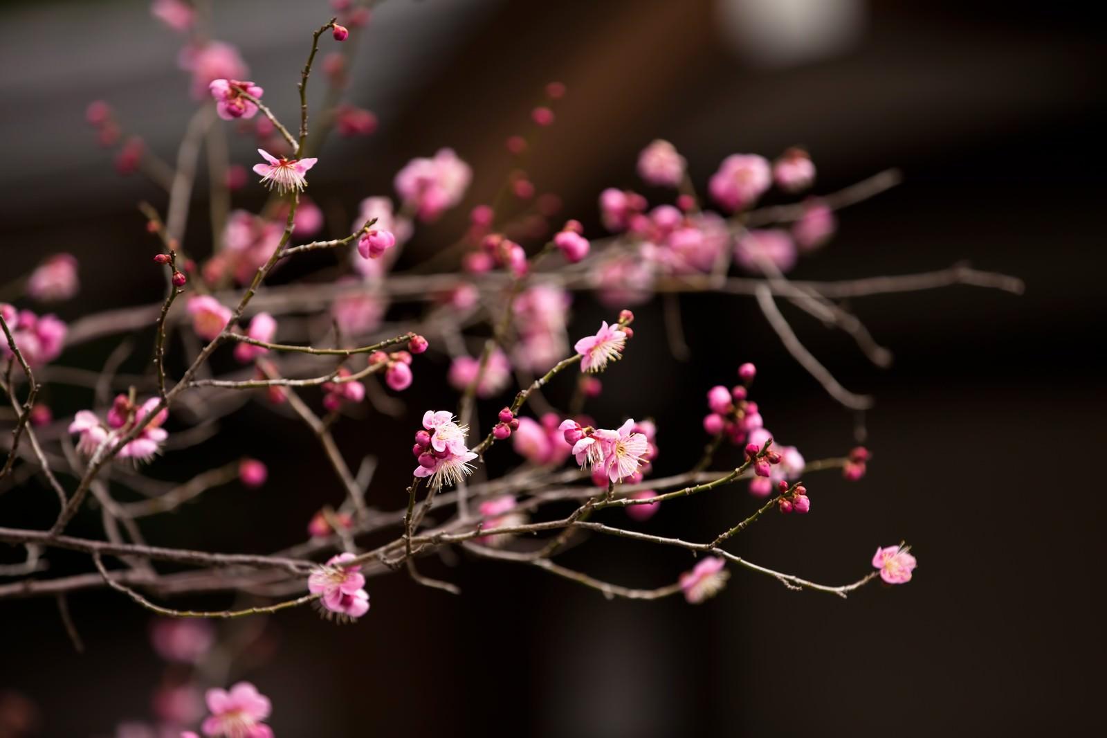 「ピンク色の梅の花」の写真