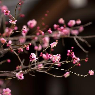 ピンク色の梅の花の写真